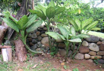 evergreen Dieffenbachia. Impatto sulla umana