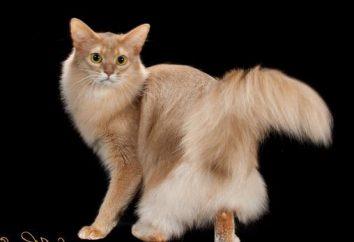 Gato somalí: foto. Gato somalí: Nature Reviews