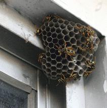 Como assustar as vespas? O cheiro impede vespas?