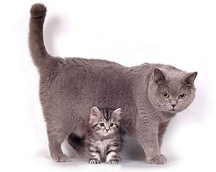 Czy znasz różnice między szkockiego kota z Brytyjczykami?