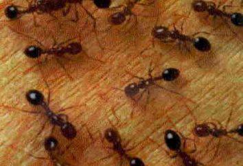 Jak pozbyć się czerwonych mrówek w mieszkaniu szybko i trwale?