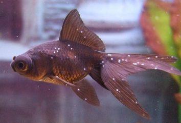 "Jak leczyć ""semoliny"" Fish: furatsilinom, sól, ""Antiparah""?"