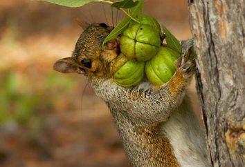Comme un écureuil se préparer pour l'hiver? Que fait-elle pour cela?