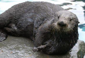 Come dormire lontre di mare? Lontre marine: Fatti interessanti