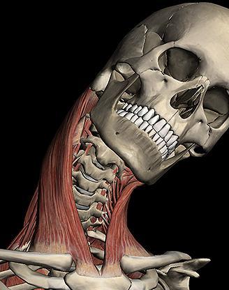 músculo esternocleidomastoideo: el papel principal en el cuerpo humano