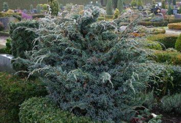 Juniperus meyeri: panoramica, caratteristiche di coltivazione e la cura
