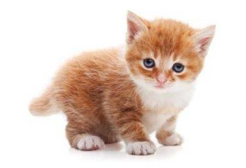 O que imunizações fazer o gatinho e por quê?
