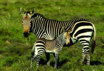 Egzotyczne, paski, lub gdzie są zebry?