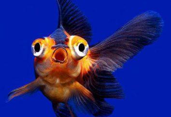 Teleskop (ryby akwariowe): pielęgnacja i konserwacja
