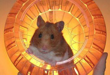 boule de hamster pour le hamster. Comment faire une boule de hamster avec leurs mains?