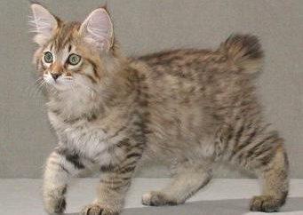 Kuril Bobtail gato: carácter, características de la raza, exteriores, fotos