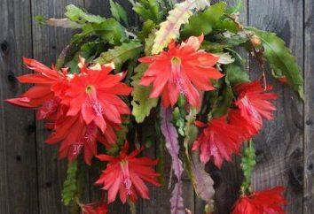 Kaktus Epifyllum Dreamland: Właściwości lecznicze. leczenie tradycyjne receptury