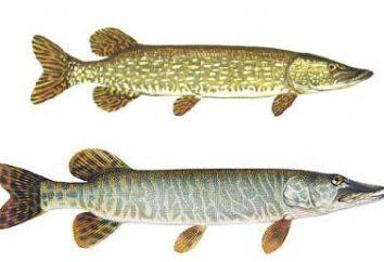 Welche Fische für Hecht ist wirklich effektiv?