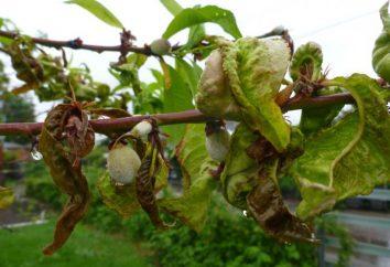 Brzoskwinia leaf curl: leczenie, leczenie