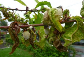 Peach leaf curl: tratamiento, tratamiento