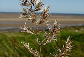 Reed terreno: foto, descrizione. erbe selvatiche