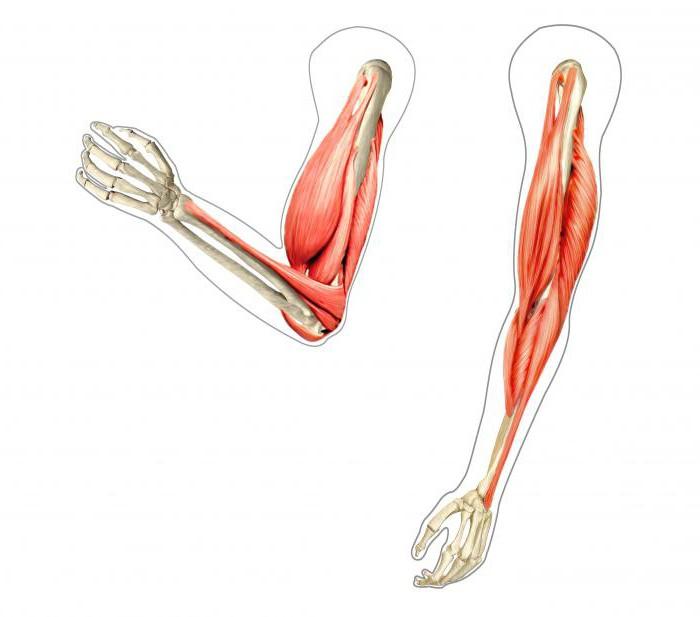 Sinergisti muscolari esempi e descrizione for Esterno quadricipite