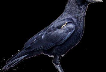 Interprétation des rêves: ce rêve corbeau