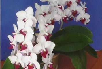 Orchidées Phalaenopsis. Soins et élevage