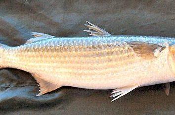 Barwena ryby – mały przysmak