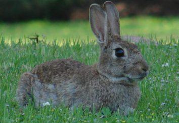 Zawartość królików w klatkach dla początkujących