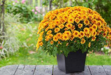 Por que não florescem crisântemo em casa?