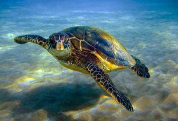 Riddles sobre tartarugas em verso