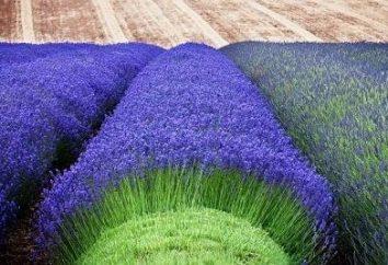 Lavender – crescente de sementes e possíveis dificuldades