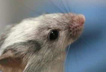 Mysz igłowa: utrzymanie i pielęgnacja w domu