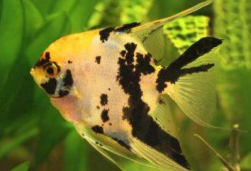 ¿Quién recibe un escalar? ¿Qué pez ángel pez llevarse bien?