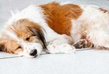 Rzucawka u psów po urodzeniu dziecka: objawy, leczenie i zapobieganie