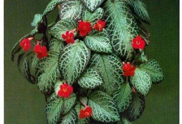 Incroyablement belle plante d'Amérique du Sud – Episcia. Soins à domicile