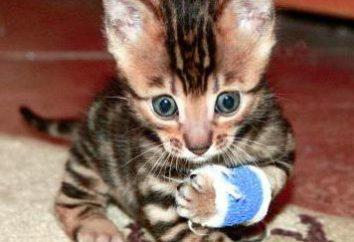 chatons Bengale: quoi nourrir, et des examens de soins particuliers