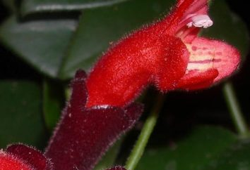 Aeschynanthus Tropical. Assistenza a domicilio
