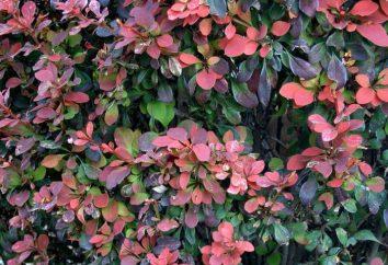 Niedrige Büsche: Arten, vor allem Bepflanzung und Pflege. Schnell wachsende Sträucher