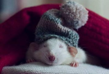 Karmienie i utrzymanie szczurów w domu