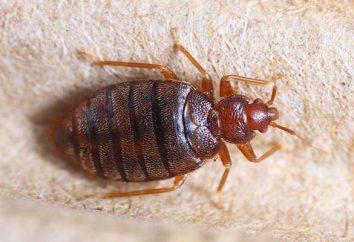 A quelle température dépérit bug? Se débarrasser des punaises de lit dans l'appartement?