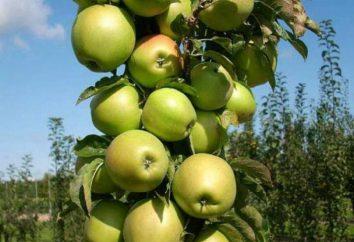 Ordenar Presidente – macieira colunar. Descrição, fotos