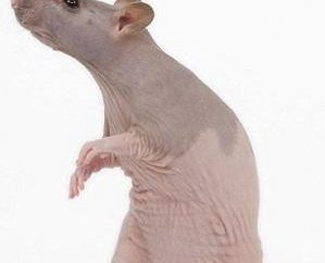Niezwykłe zwierzęta – bezwłosych szczurów