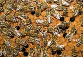 api assassine. terribile eredità