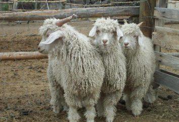 La laine angora: qualité, dignité. Fils de laine à la couture