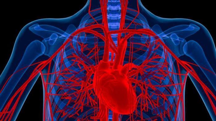 Die Aorta, der Aorten-Zweig: Beschreibung und Fotos