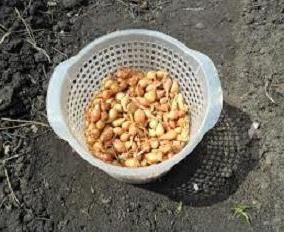 Plantação de cebola na nabo – sementes ou Onion?