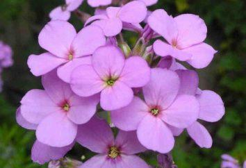 Kwiaty borowiec matrona: fotografia, uprawy z nasion
