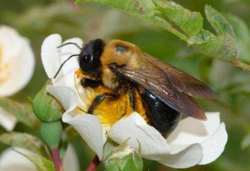 Pourquoi un Bumbebee rêve-t-il? Voir dans un rêve un insecte mordant ou un essaim entier
