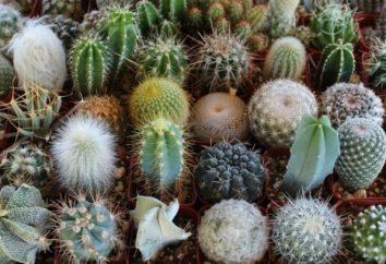 """Come prendersi cura di cactus: tre """"balene"""", si dovrebbe essere consapevoli"""