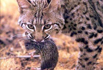 Toxoplasmose chez les chats – Diagnostic, Traitement