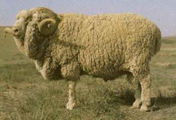 races fines laine de mouton: la description et la caractérisation des