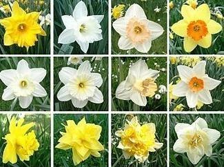 Come prendersi cura di narcisi nel vostro giardino?