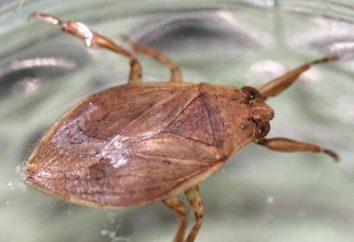 Pourquoi dans le monde ont besoin d'insectes d'eau? bug de l'eau prédatrices: description, photo
